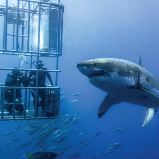 Shark Cage Tour